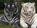 黑猫白猫长大了
