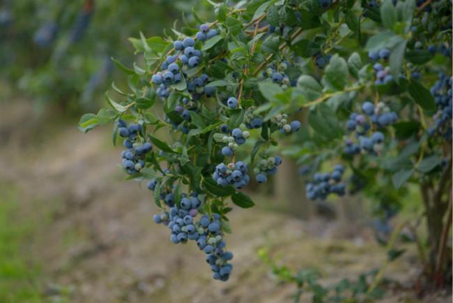 BC蓝莓,为每个人提供正确的健康饮食