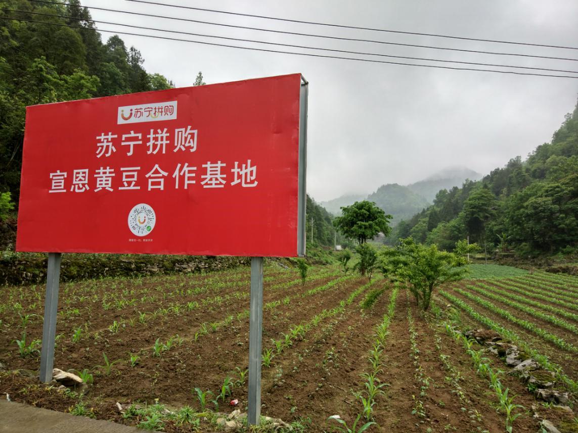 苏宁拼购宣恩黄豆合作基地助力农产品上行