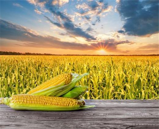 2020中��玉米�a�I大��