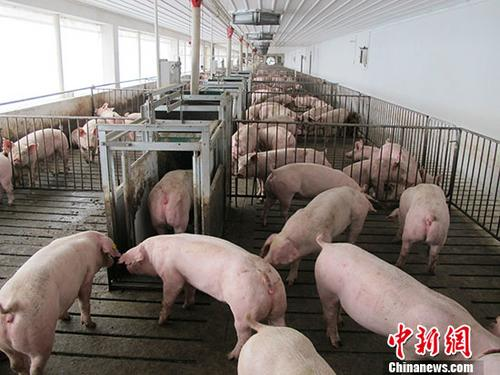 四川宁南在查获的外省违规调运生猪中排查出非洲猪瘟疫情
