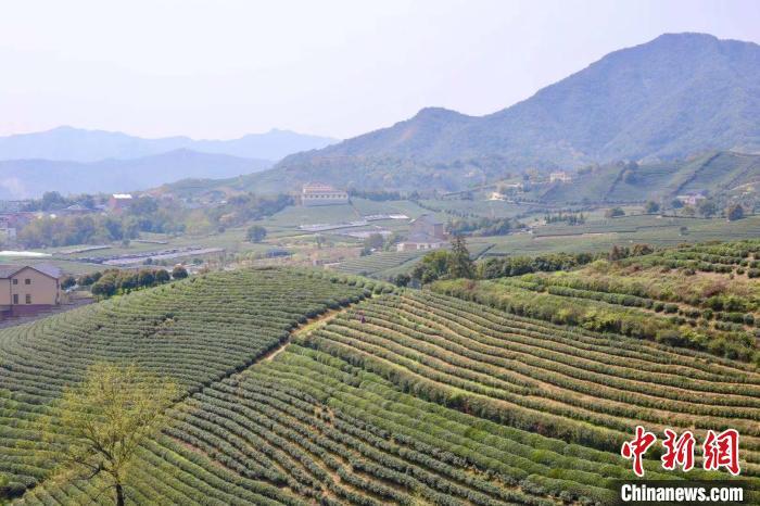 西湖龙井暂未受寒潮影响 茶农:适当低温利于减少病虫害