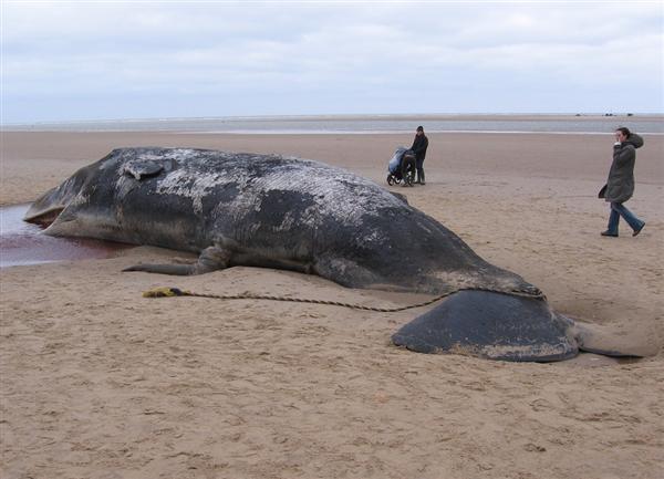 65吨抹香鲸搁浅死亡被做成标本:两辆吊车才搬得动
