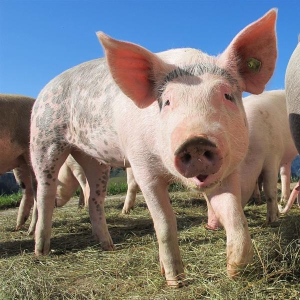 日本发生猪瘟疫情将扑杀1万头猪:可致高热、内脏器官严重出血