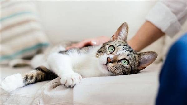 名贵猫王后代本想在医院体检!结果被误做绝育手术