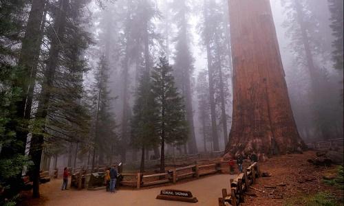 卫报:世界上最大红杉树面临被山火烧死 消防员用铝制防火毯包裹它抵御烈焰