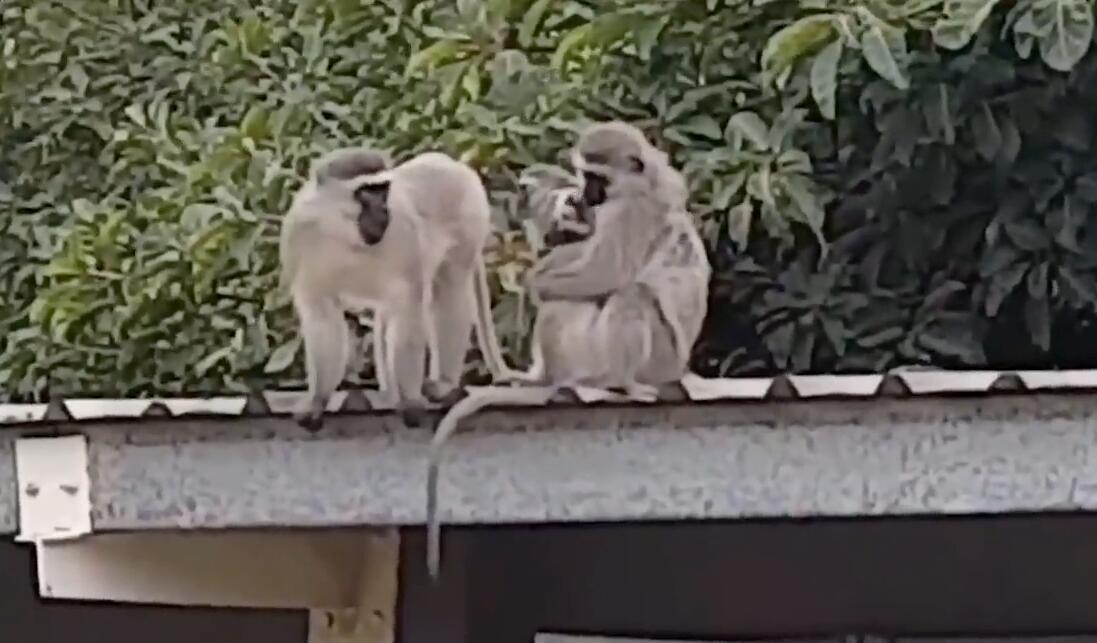南非一受伤长尾猴被人类救助 伤愈后与猴子家族拥抱团聚